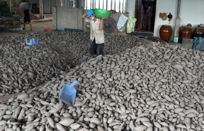 Khoai lang thu mua được tập kết về kho của một  HTX tại huyện Bình Tân, tỉnh Vĩnh Long, ngày 17/9. Ảnh: Châu Thành