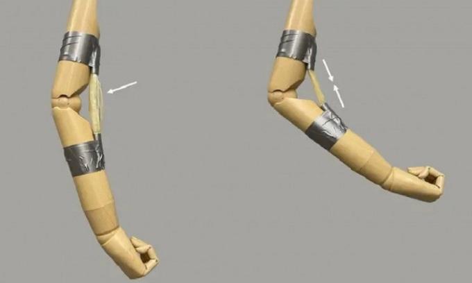 Cánh tay gỗ chuyển độ nhờ cơ bắp polymer. Ảnh: ACS Central Science